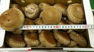特大サイズの生椎茸