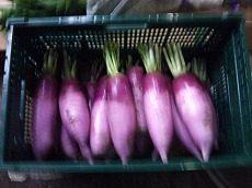 紅しぐれ大根|業務用野菜のベジクル
