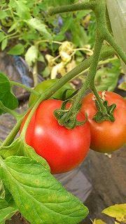 産直フルーツトマト