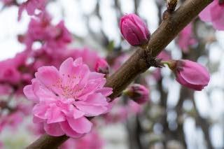 3月桃の節句
