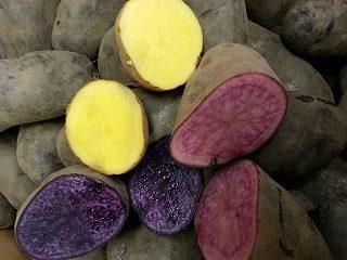 インカのめざめ(黄) ノーザンルビー(赤) シャドークイーン(紫)